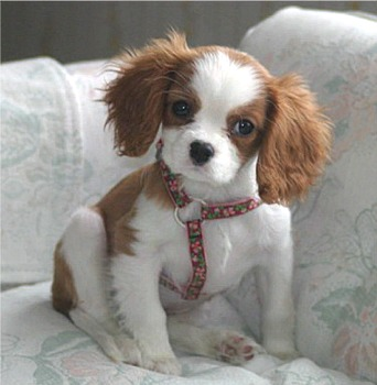 ... Cavalier King Charles Spaniels can have both short hair and long hair