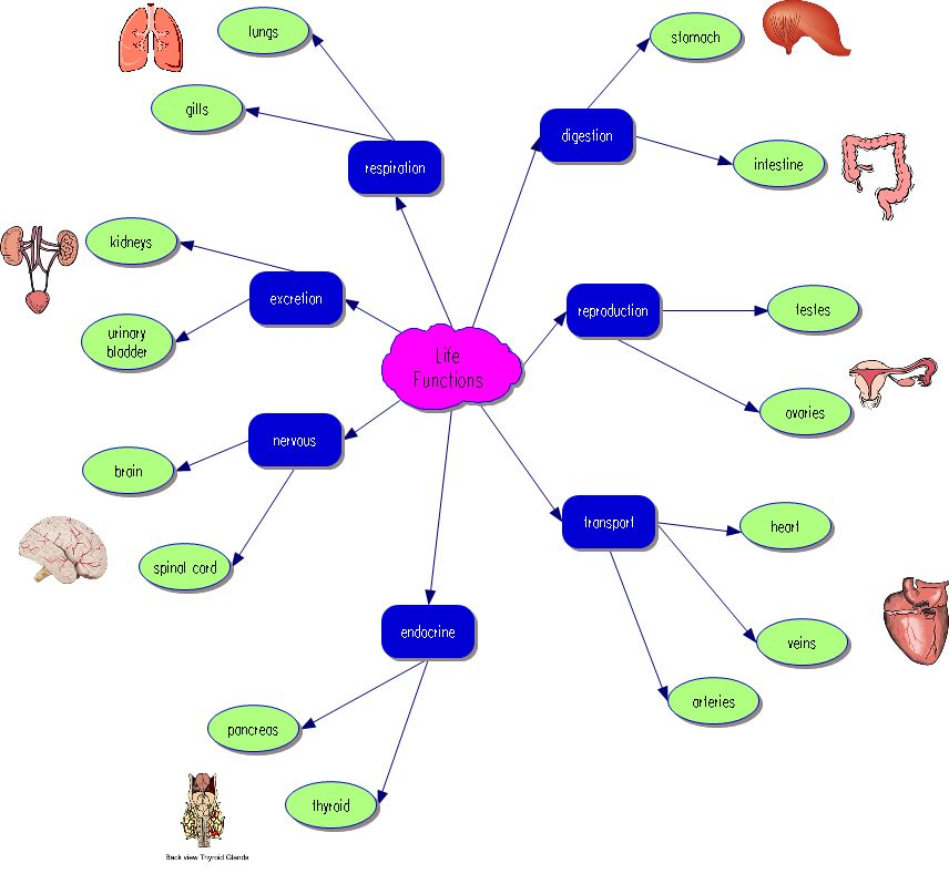 protein synthesis concept map with View on Simple Protein Concept Map Biology additionally Central Dogma in addition Selective Breeding Flowchart further 13a  20Catecholamine 20Synthesis together with 2197 cotranslational protein labeling.